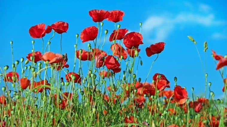 fleurs rouge coquelicot