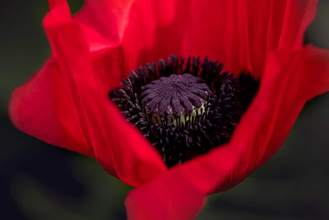 pavot rouge