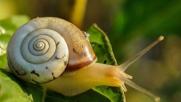 élevage d'escargots héliciculture
