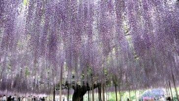 glycine Japon