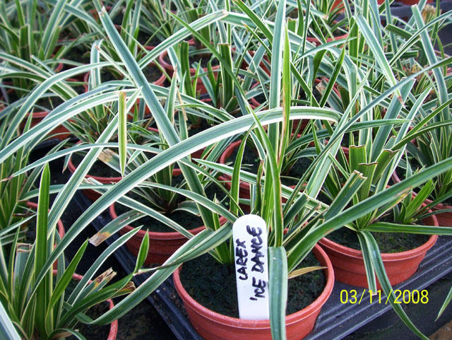 carex morrowii laiche du japon