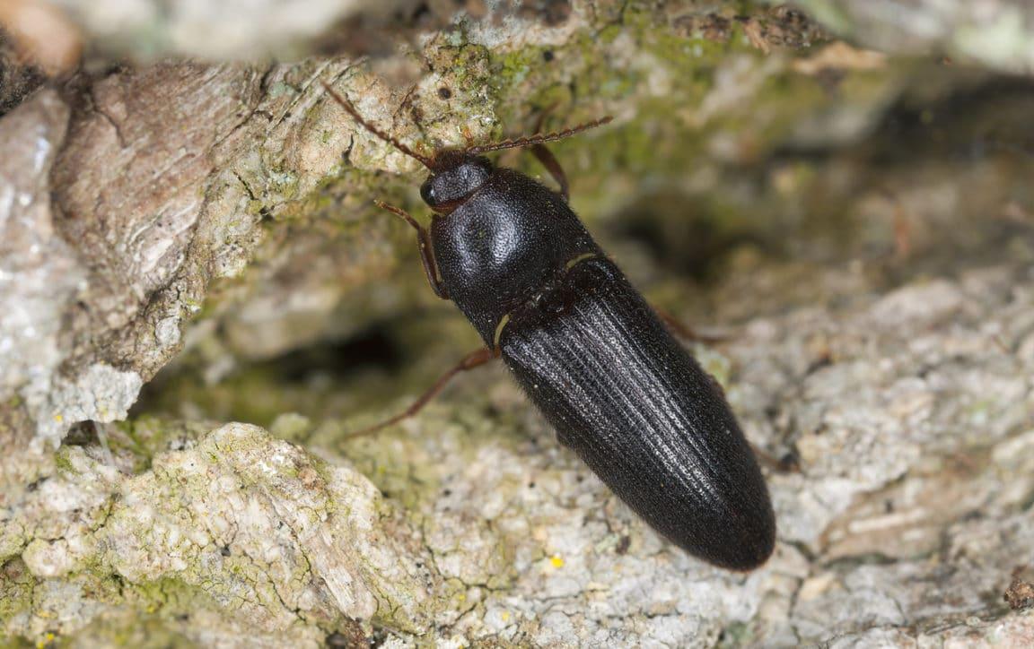 Taupin (Athous haemorrhoidalis)