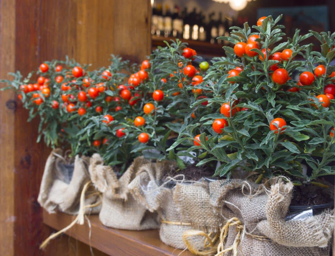 Solanum pseudocapsicum pommier d'amour
