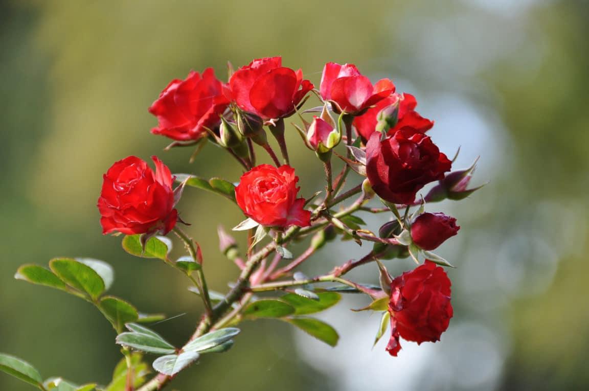rosiers miniatures