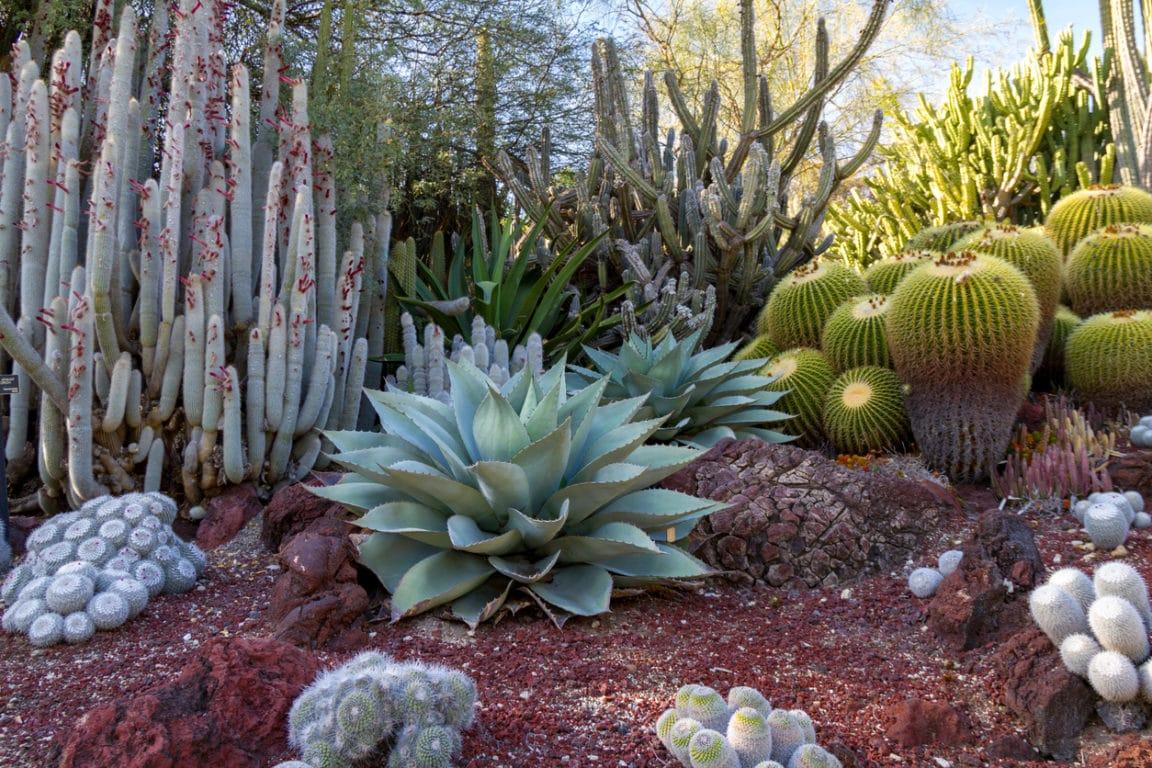 cactées succulentes