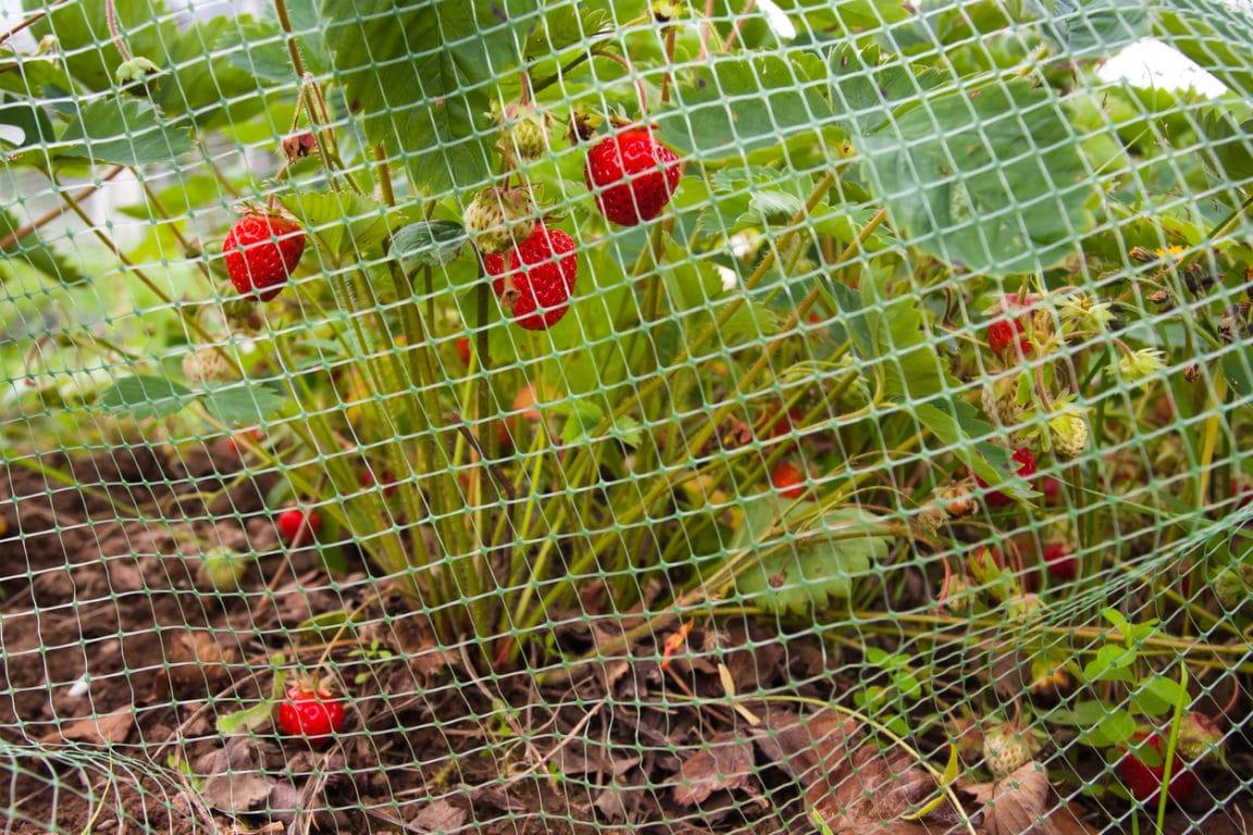 oiseaux du jardin fraise filet