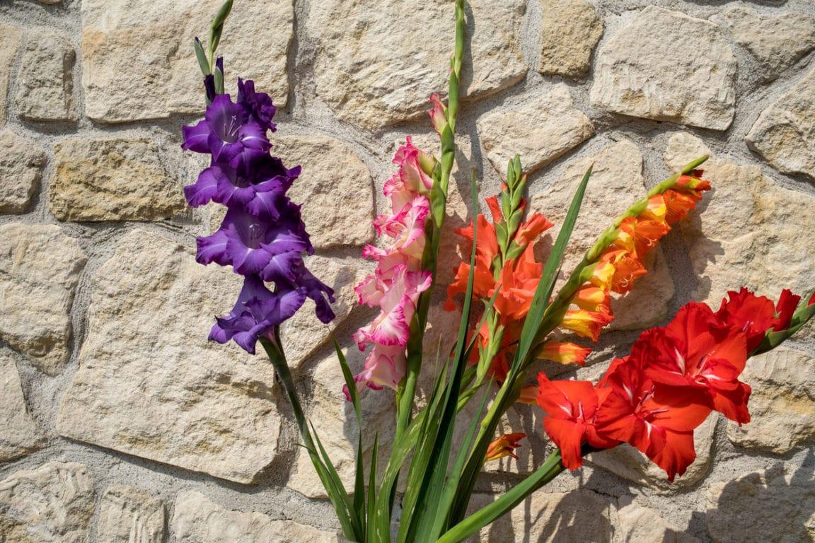 Glaïeul à grandes fleurs