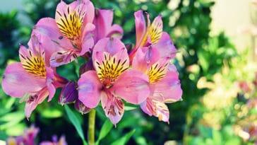 Alstroémère fleurs à bulbes