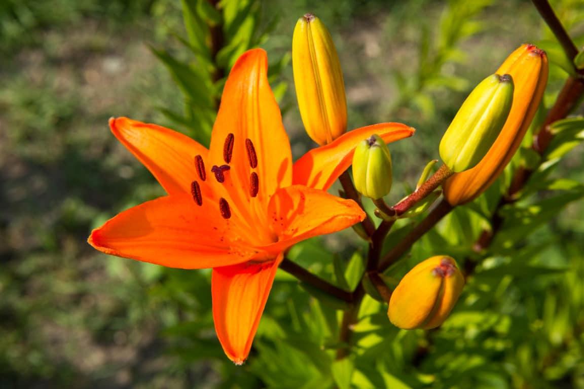 lis lys asiatique