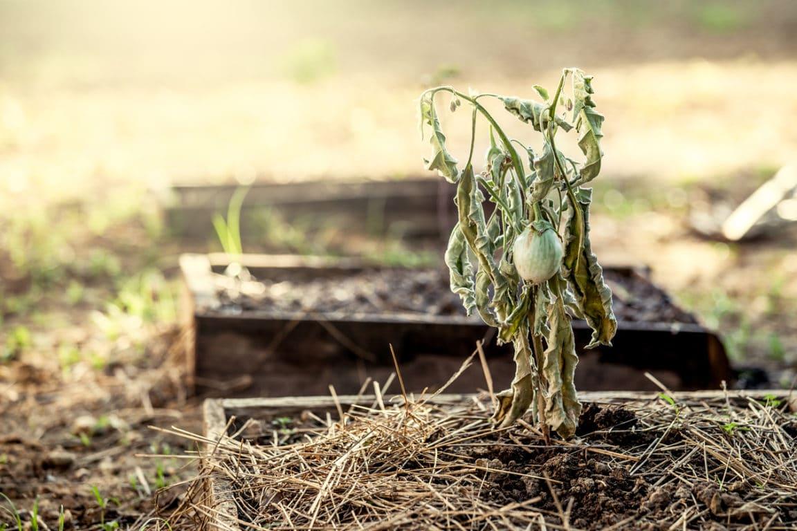 jardin canicule sécheresse