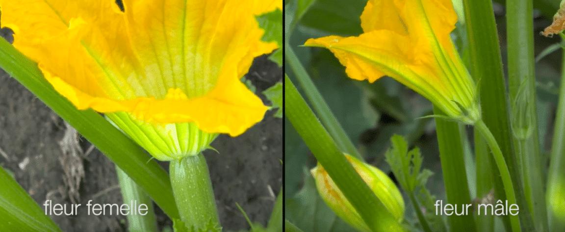 courgette fleur mâle femelle