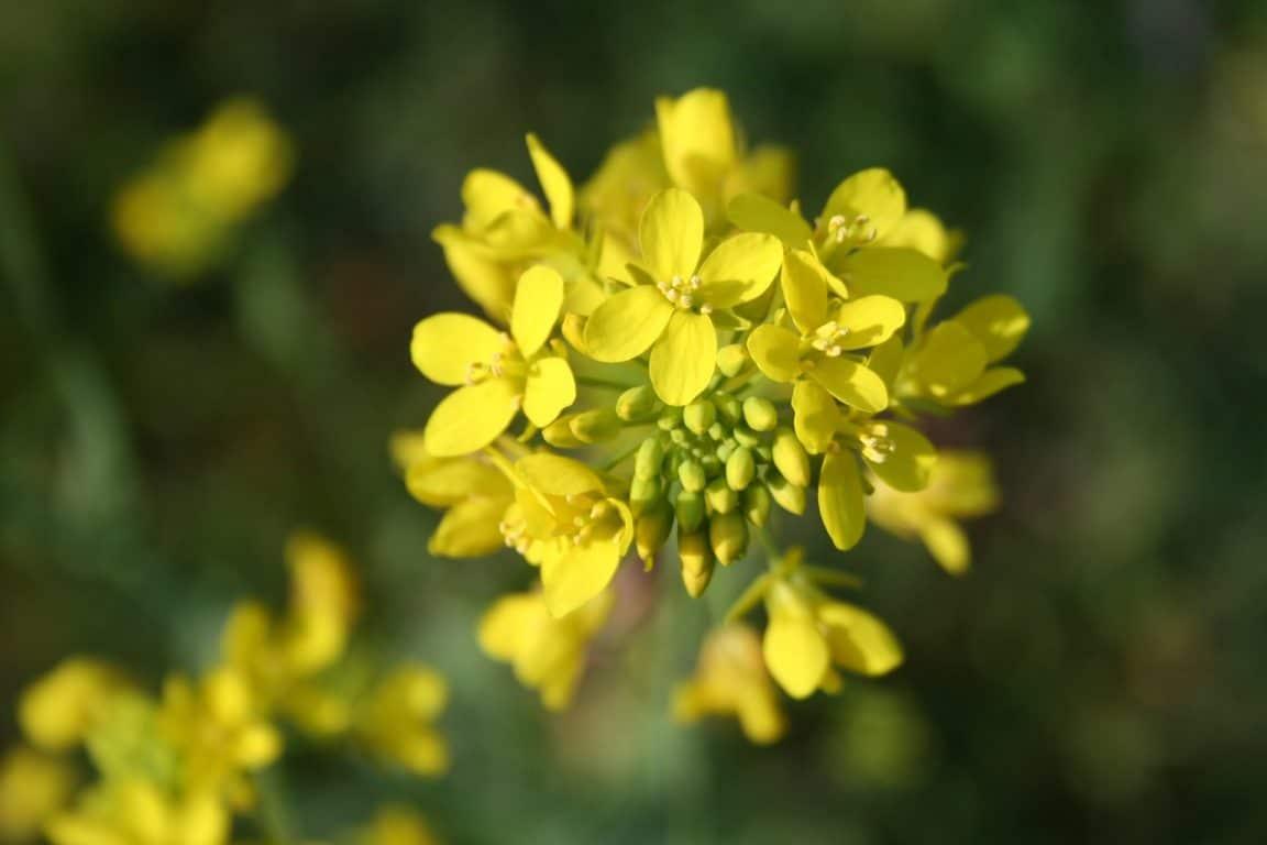 moutarde fleur plante
