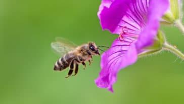 abeilles fleurs