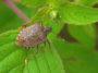 punaises jardin diabolique Halyomorpha halys