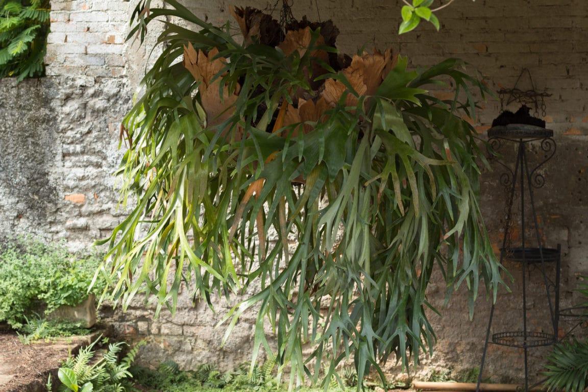 Platycerium bifurcatum (Corne d'élan)