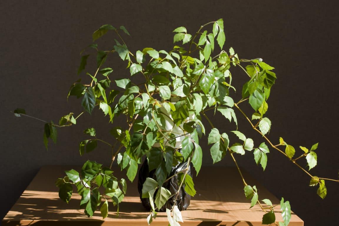 Cissus Rhombifolia fougères