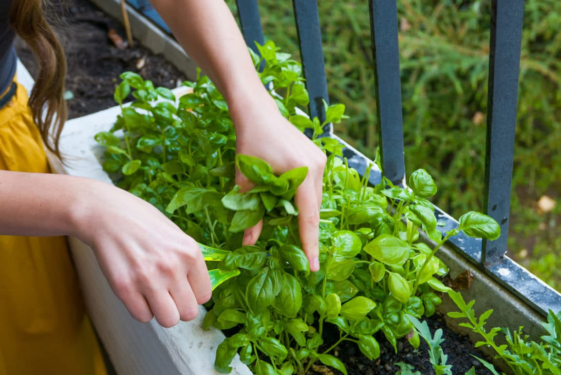 jardiner juillet basilic