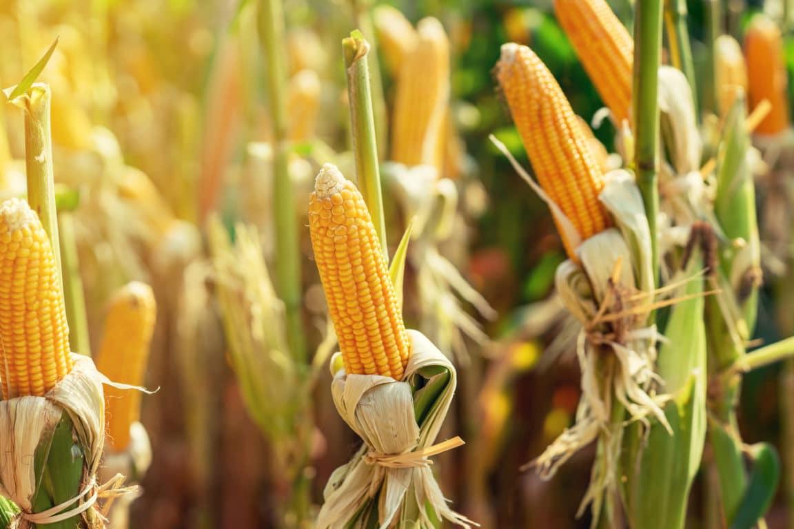maïs doux semis culture potager