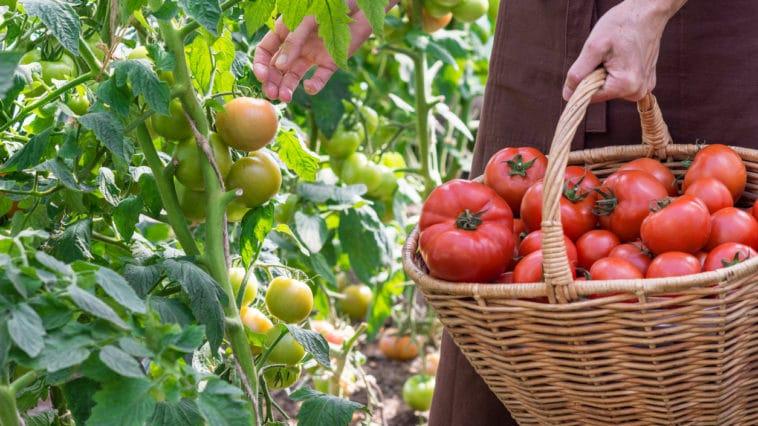 jardin juillet tomates