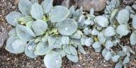 plante huître Mertensia maritima
