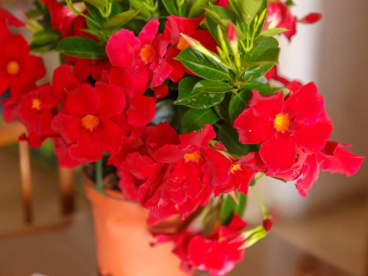 Plante D Intérieur Qui Aime La Chaleur dipladenia ou mandevilla : conseils d'entretien selon les
