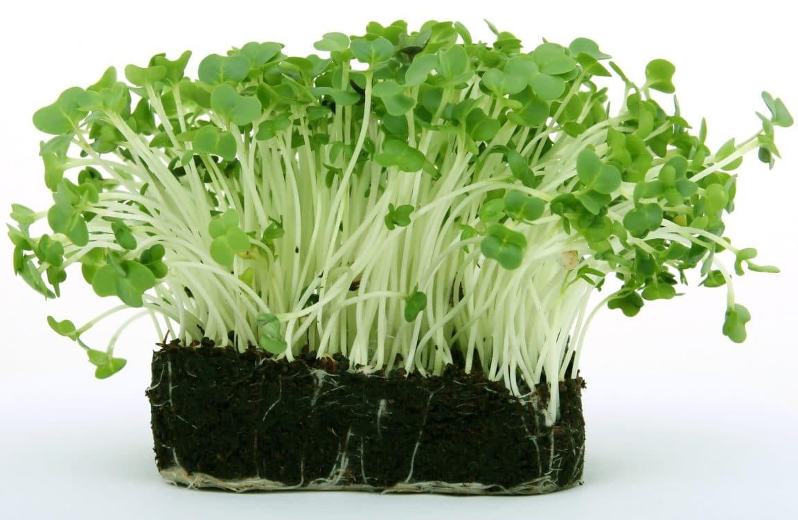 cresson salade saison