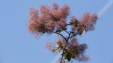 Cotinus coccygria arbre à perruques