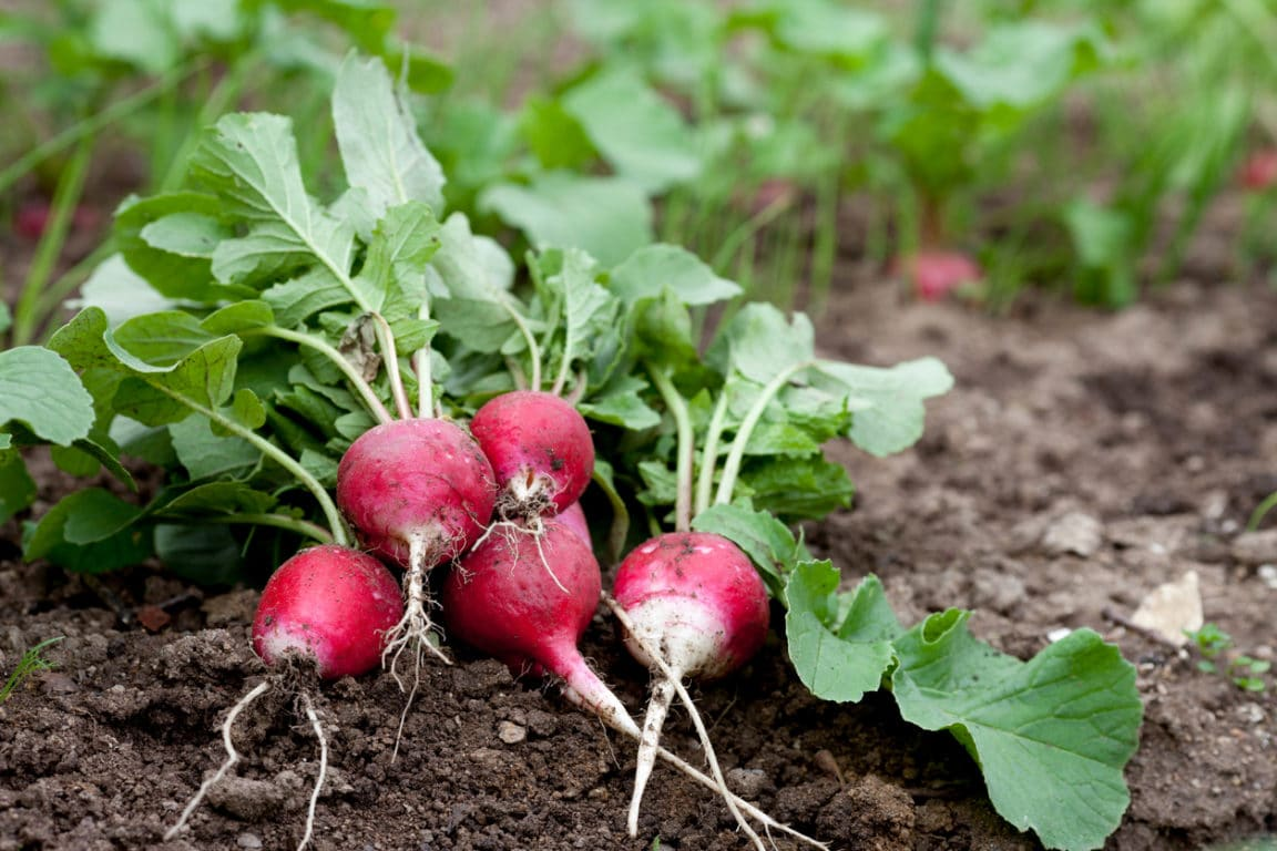 radis semis plantation