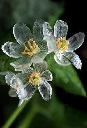 Fleur de verre plante Squelette Diphylleia grayi