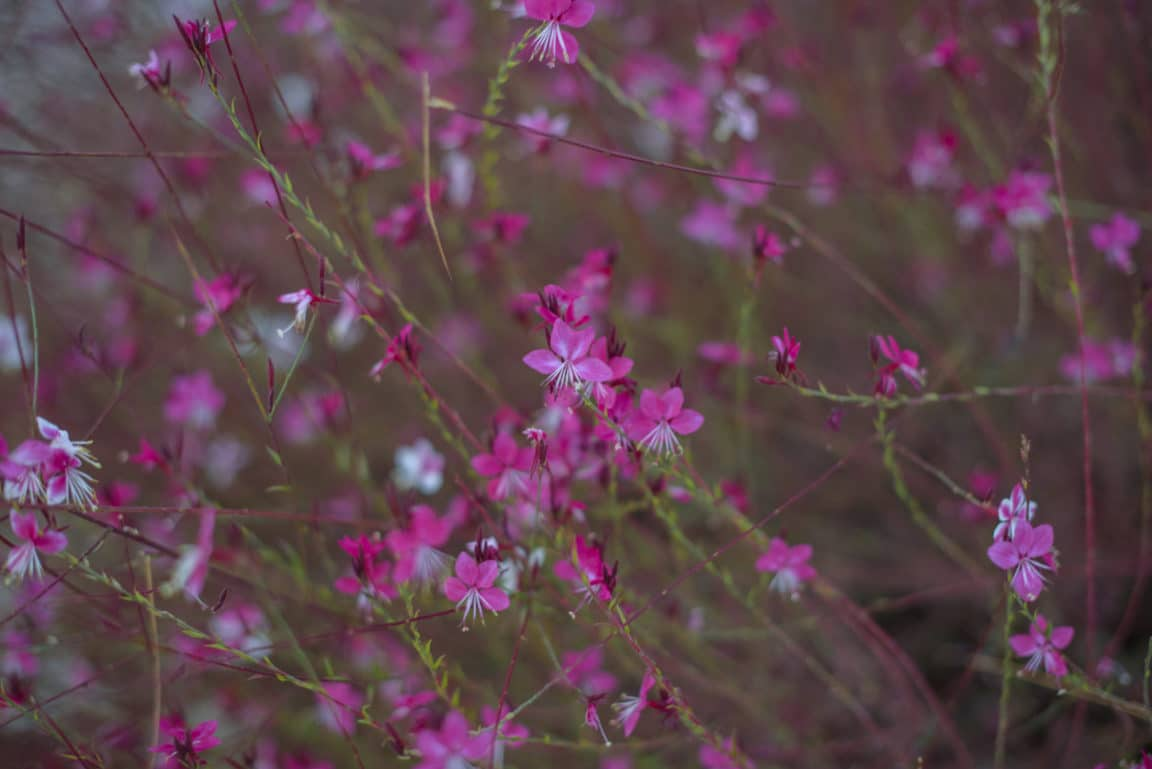 Gaura (Gaura lindheimeri) flowers