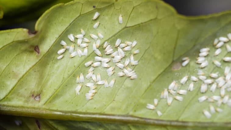 aleurodes mouche blanche
