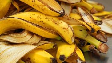 pelures banane jardin