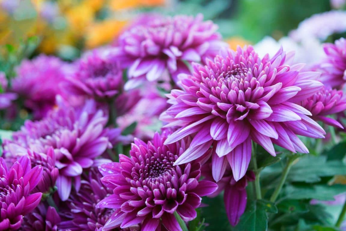 chrysanthème toussaint fleurs