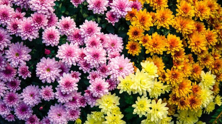 fleurs Toussaint chrysanthèmes