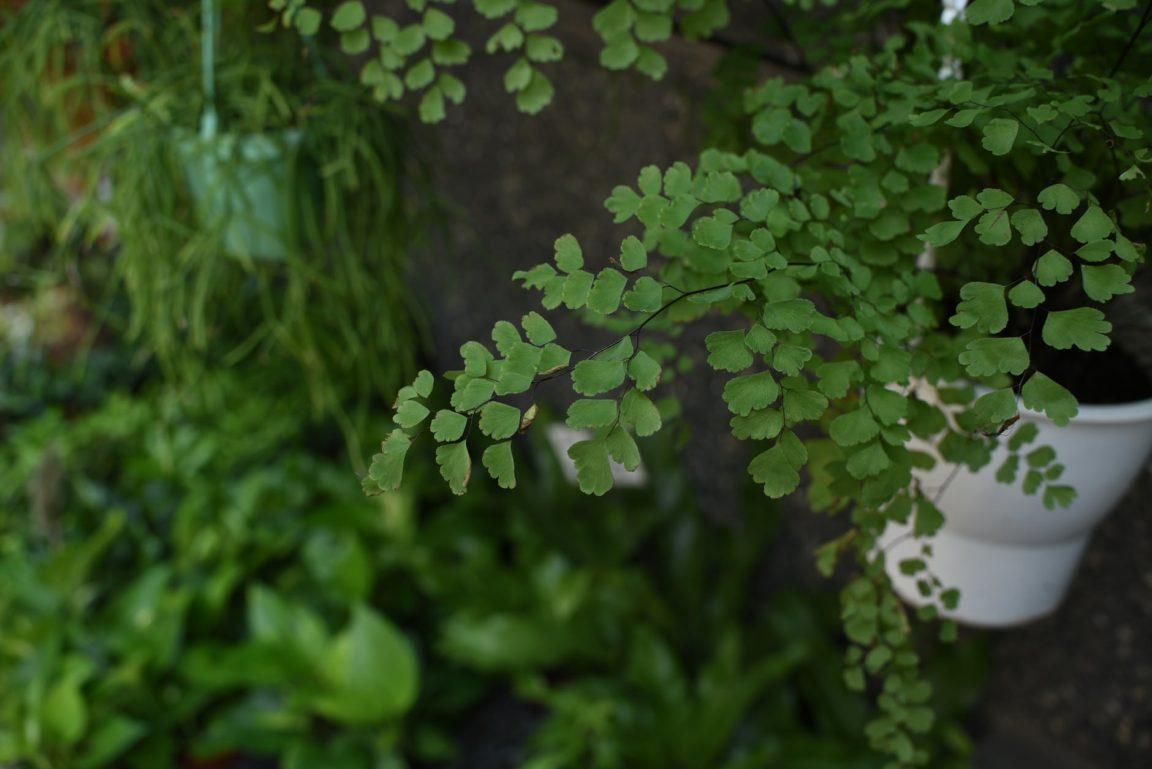 adiantum capillus veneris capillaire cheveux de vénus