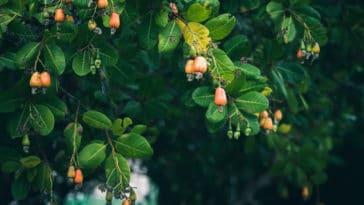 anacardier noix de cajou arbre
