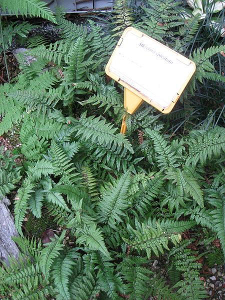 athyrium spicatum fougère