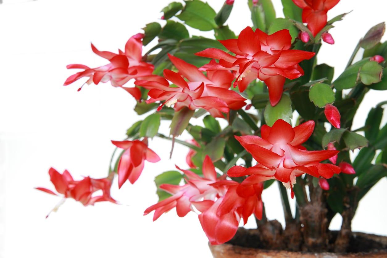 Etoile De Noel Plante Exterieur les 5 fleurs et plantes parfaites pour la période de noël