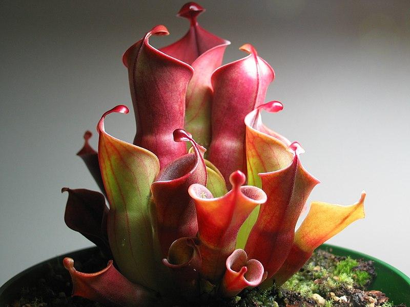 heliamphora plante carnivore