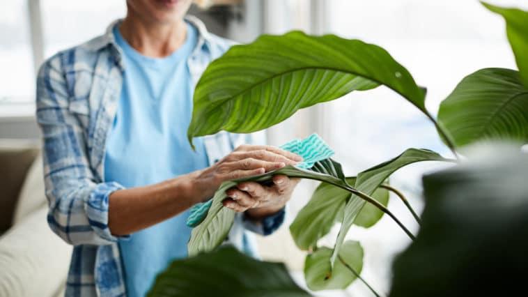 nettoyage d'une plante d'intérieur