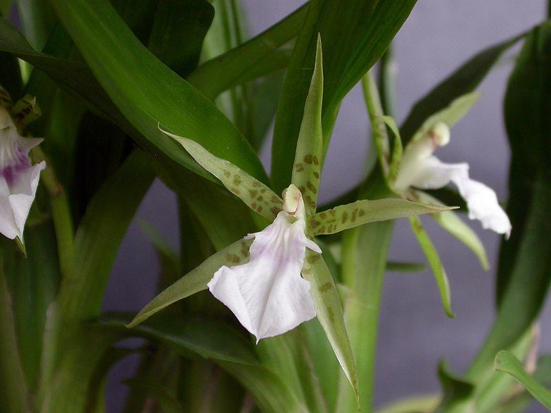 orchidée Aspasia lunata