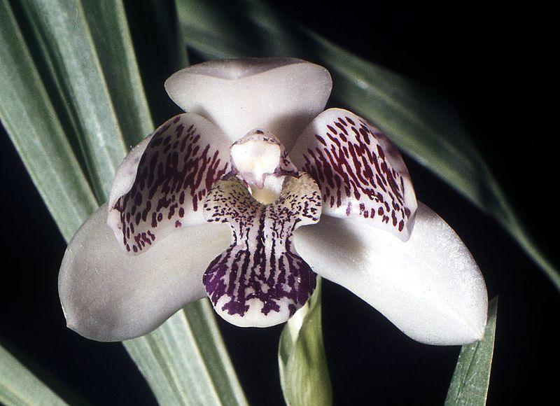 orchidée Pabstia jugosa