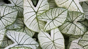 Caladium Candidum feuilles blanches