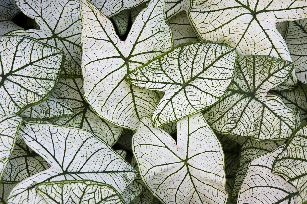 Caladium Candidum white leaves