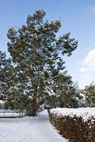eucalyptus gunnii arbre