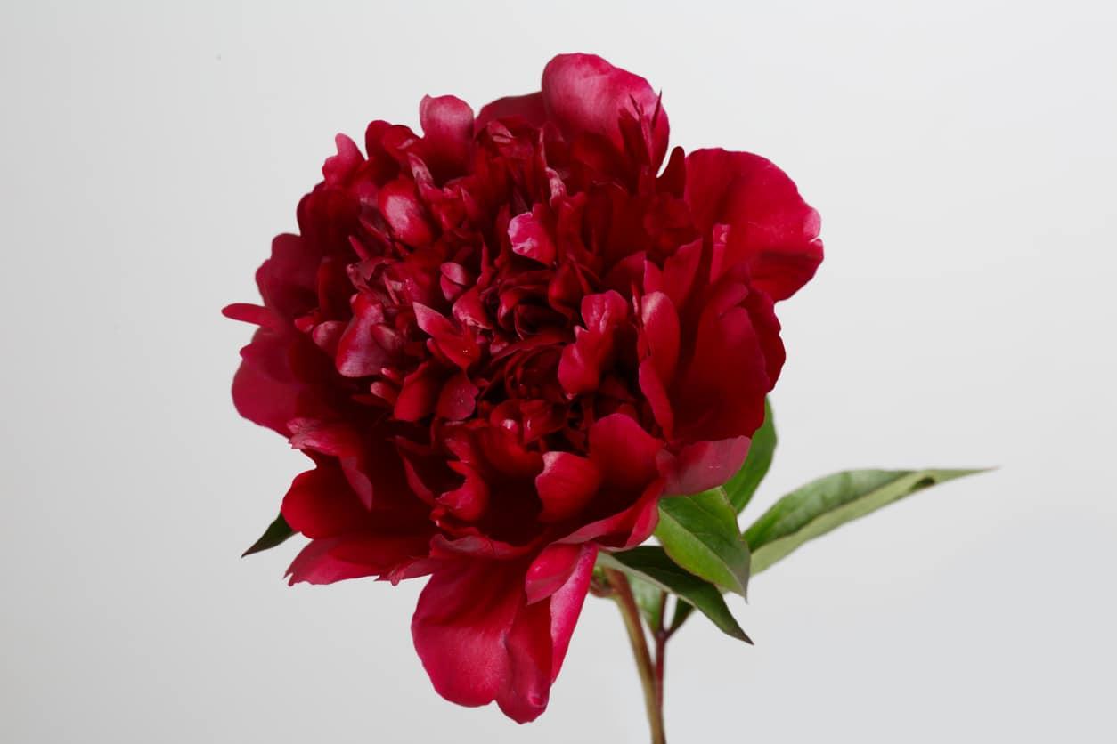 fleur pivoine rouge