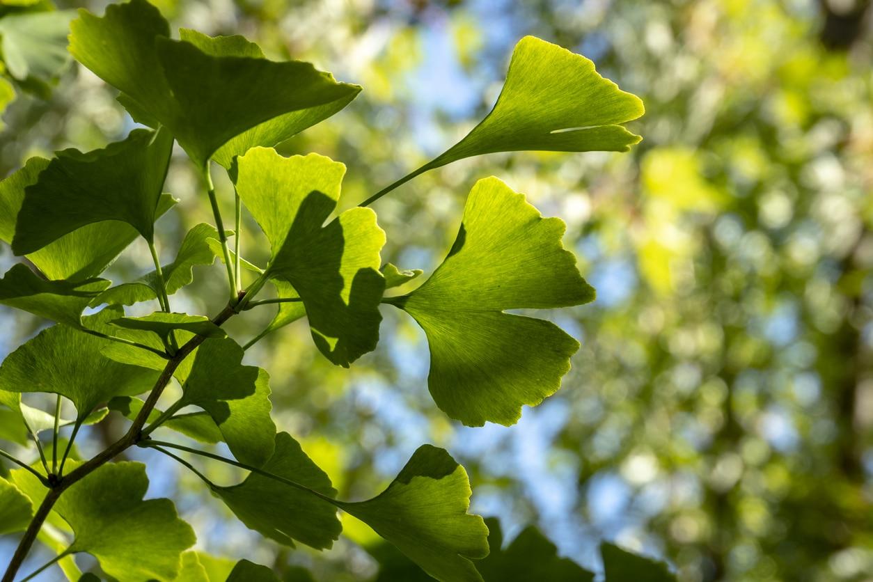 gingko biloba feuilles
