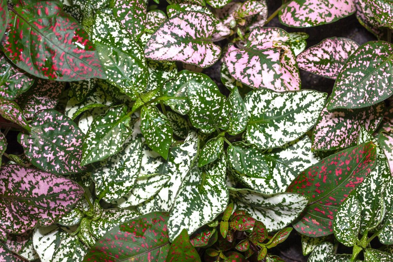 hypoestes feuilles rose