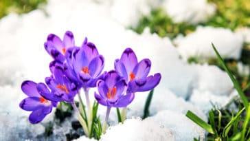 crocus plantes hiver colorées jardin