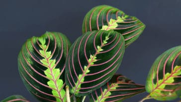 Maranta leuconeura plantes d'intérieur feuillages